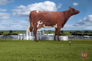 Luxlait cow