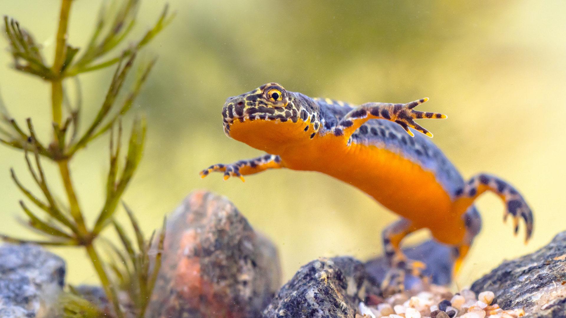 Melusina salamander
