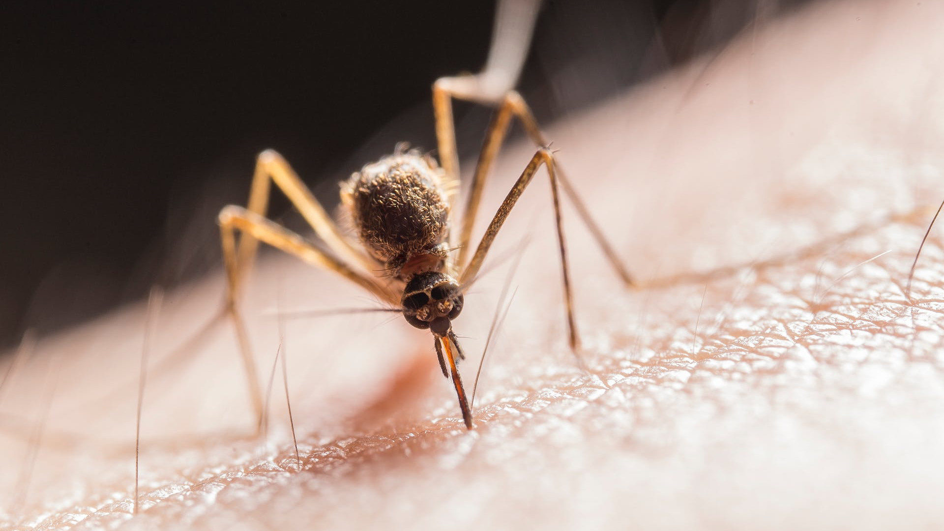 Mosquito drunk alcohol in blood
